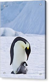 Emperor Penguin And Chick Acrylic Print by Jean-Louis Klein & Marie-Luce Hubert