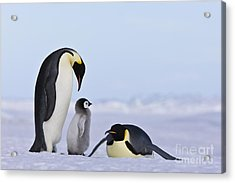 Emperor Penguins And Chick Acrylic Print