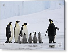 Emperor Penguins And Chicks Acrylic Print by Jean-Louis Klein & Marie-Luce Hubert