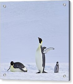 Emperor Penguins And Their Chick Acrylic Print