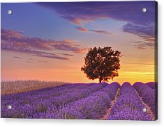 English Lavender Field With Tree At Sunset, Valensole, Valensole Plateau, Alpes-de-haute-provence, Provence-alpes-cote D Azur, Provence, France Acrylic Print by Martin Ruegner
