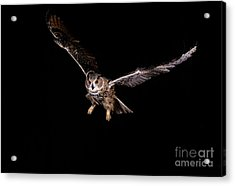 European Eagle Owl Bubo Bubo Acrylic Print