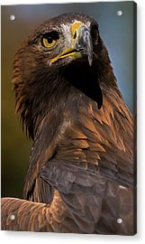 European Golden Eagle Acrylic Print by JT Lewis