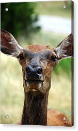 European Red Deer Acrylic Print by Thea Wolff