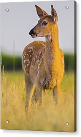 Acrylic Print featuring the photograph Fawn In Sunlight by John De Bord