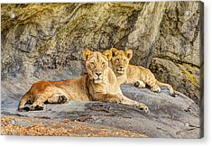 Female Lion And Cub Hdr Acrylic Print