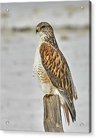 Ferruginous Hawk Acrylic Print by Doug Herr