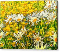 Field Of Daisies Acrylic Print by Claire Bull
