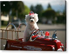 Fifi To The Rescue Acrylic Print by Michael Ledray