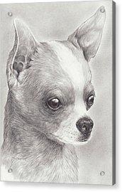 Fine Chihuahua Acrylic Print