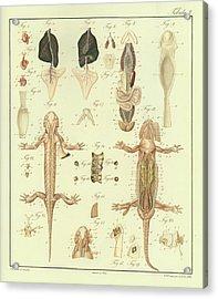 Fire Salamander Anatomy Acrylic Print