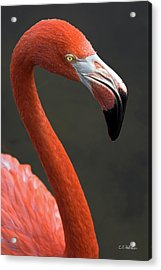 Flamingo Acrylic Print by Christopher Holmes
