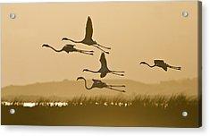 Flamingo Flight Acrylic Print by Basie Van Zyl