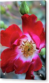Flower Dance Acrylic Print by Victor K