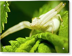 Flower Spider Acrylic Print by Jouko Mikkola