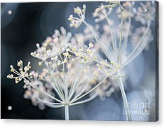 Acrylic Print featuring the photograph Flowering Dill Clusters by Elena Elisseeva