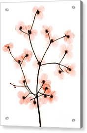 Flowering Dogwood X-ray Acrylic Print