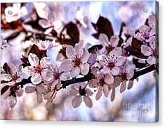Flowering Plum Acrylic Print