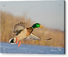 Fly By Acrylic Print by Robert Pearson