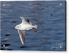 Flying Gull Above Water Acrylic Print by Michal Boubin