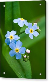 Forget-me-not Acrylic Print by Yuri Peress