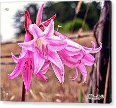Acrylic Print featuring the photograph Fort Bragg Pink Naked Ladies by William Havle