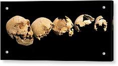 Fossilised Skulls, Sima De Los Huesos Acrylic Print by Javier Truebamsf