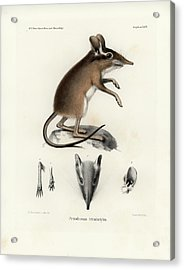 Acrylic Print featuring the drawing Four-toed Elephant Shrew by J D L Franz Wagner