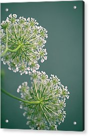 Fragile Dill Umbels On Summer Meadow Acrylic Print