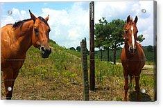 Friendly Stallions Acrylic Print
