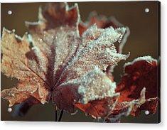 Frosty Maple Leaf Acrylic Print