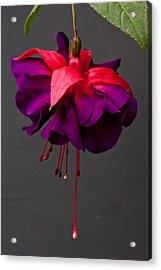 Fuchsia Acrylic Print by Dawn OConnor