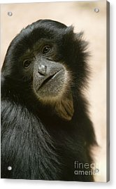 Funky Gibbon Acrylic Print by Andrew  Michael