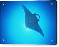 Giant Manta Ray Acrylic Print by Matthew Oldfield