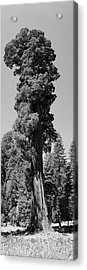 Giant Sequoia, Sequoia Np, Ca Acrylic Print