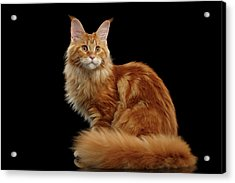 Ginger Maine Coon Cat Isolated On Black Background Acrylic Print