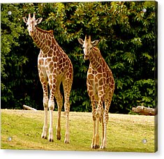 Giraffe Family Acrylic Print by Sonja Anderson