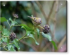 Goldcrest Acrylic Print by Matt Malloy