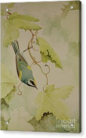 Golden-winged Warbler Acrylic Print