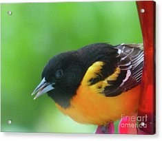 Good Morning Mr. Oriole Acrylic Print