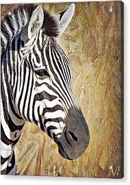 Grant's Zebra_a1 Acrylic Print