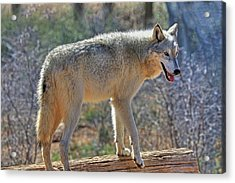 Gray Wolf Acrylic Print by Donna Kennedy
