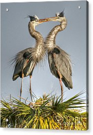 Great Blue Heron Couple Acrylic Print