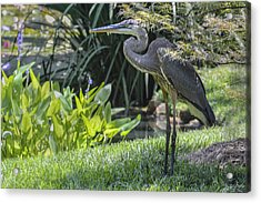 Great Blue Heron Acrylic Print by Linda Geiger