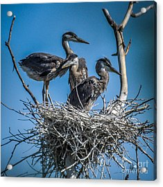 Great Blue Heron On Nest Acrylic Print