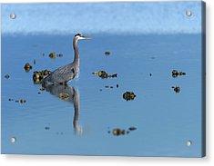 Great Blue Heron Wading Reflection Acrylic Print