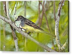 Great Crested Flycatcher Acrylic Print by Anthony Mercieca
