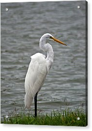 Great Egret Acrylic Print by Bill Barber