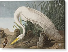 Great Egret Acrylic Print by John James Audubon