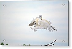 Great Egrets Mating Dispute Series  Acrylic Print